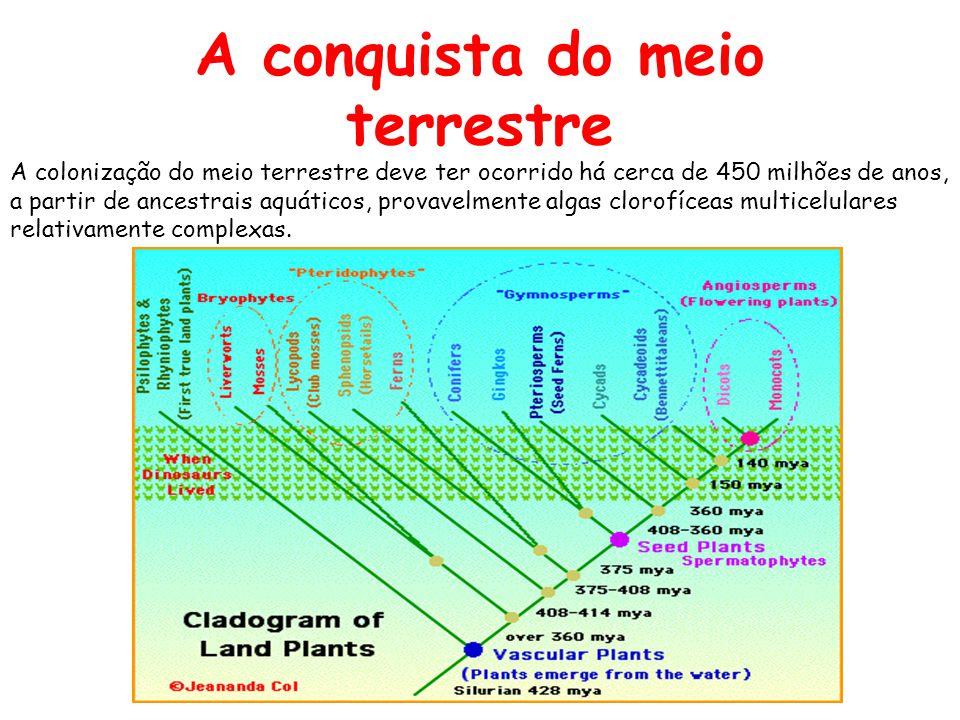 A conquista do meio terrestre Esta evolução teve início com o surgimento de dois grandes grupos, um ancestral das atuais briófitas e outro ancestral das plantas vasculares.