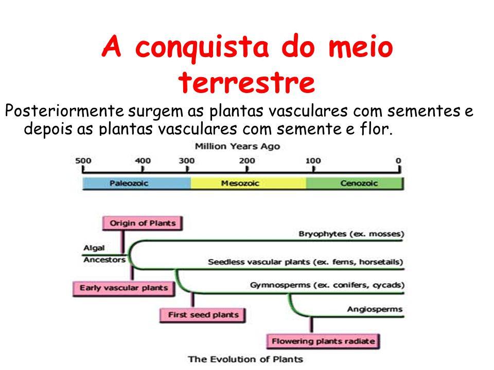 A conquista do meio terrestre Posteriormente surgem as plantas vasculares com sementes e depois as plantas vasculares com semente e flor.