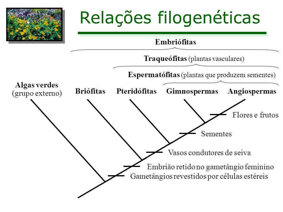 Relações filogenéticas Algas verdes (grupo externo) BriófitasPteridófitasGimnospermasAngiospermas Gametângios revestidos por células estéreis Embrião