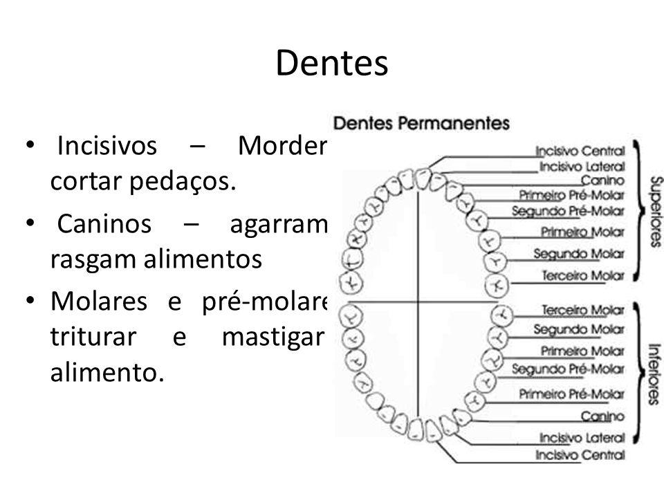 Dentes Incisivos – Morder e cortar pedaços. Caninos – agarram e rasgam alimentos Molares e pré-molares - triturar e mastigar o alimento.