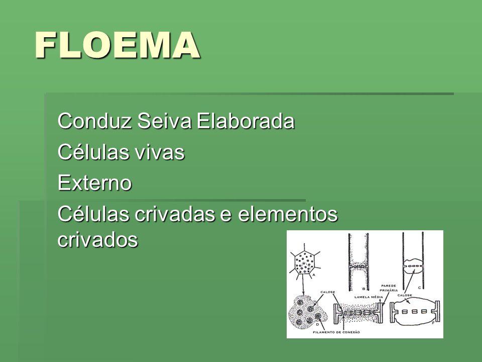 FLOEMA Conduz Seiva Elaborada Células vivas Externo Células crivadas e elementos crivados