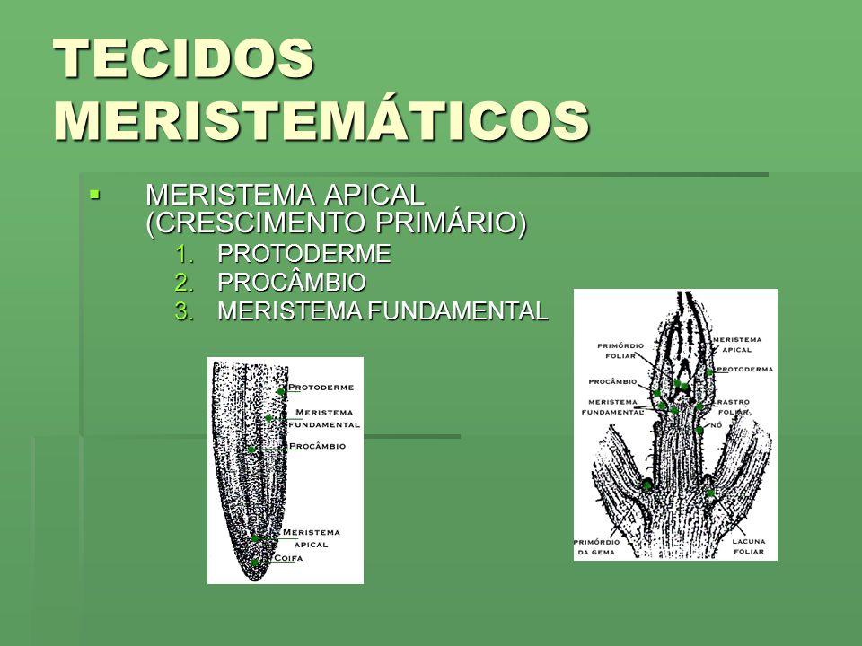TECIDOS MERISTEMÁTICOS MERISTEMA APICAL (CRESCIMENTO PRIMÁRIO) MERISTEMA APICAL (CRESCIMENTO PRIMÁRIO) 1.PROTODERME 2.PROCÂMBIO 3.MERISTEMA FUNDAMENTAL