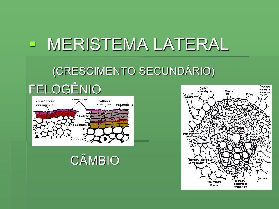 MERISTEMA LATERAL MERISTEMA LATERAL (CRESCIMENTO SECUNDÁRIO) (CRESCIMENTO SECUNDÁRIO)FELOGÊNIOCÂMBIO