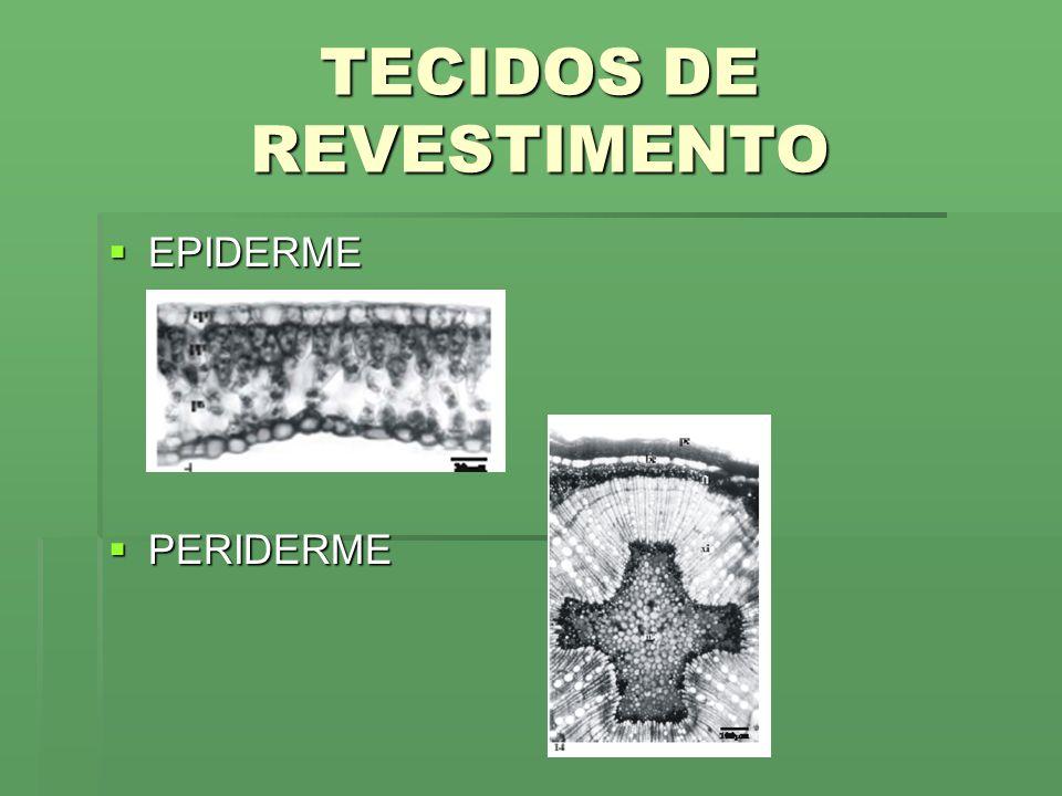 TECIDOS DE REVESTIMENTO EPIDERME EPIDERME PERIDERME PERIDERME