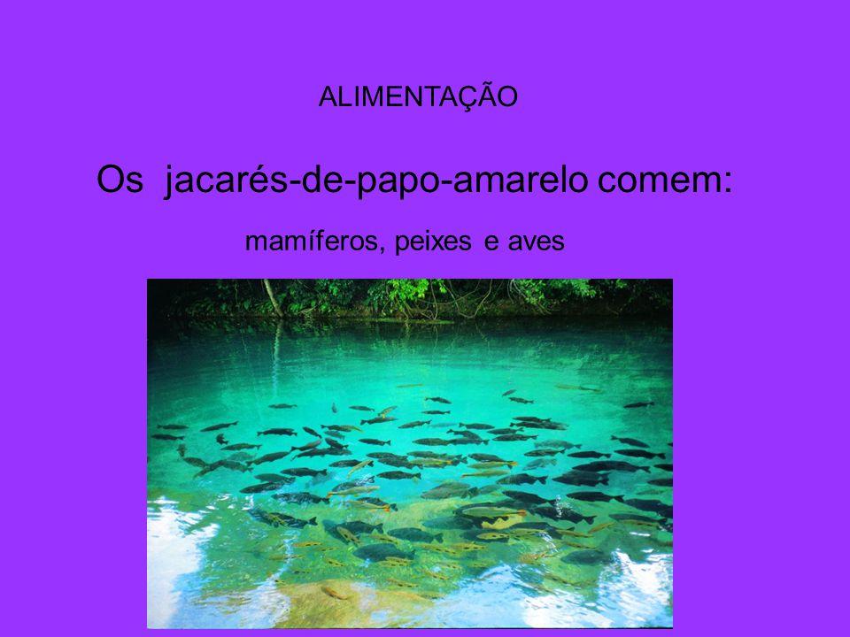 ALIMENTAÇÃO Os jacarés-de-papo-amarelo comem: mamíferos, peixes e aves