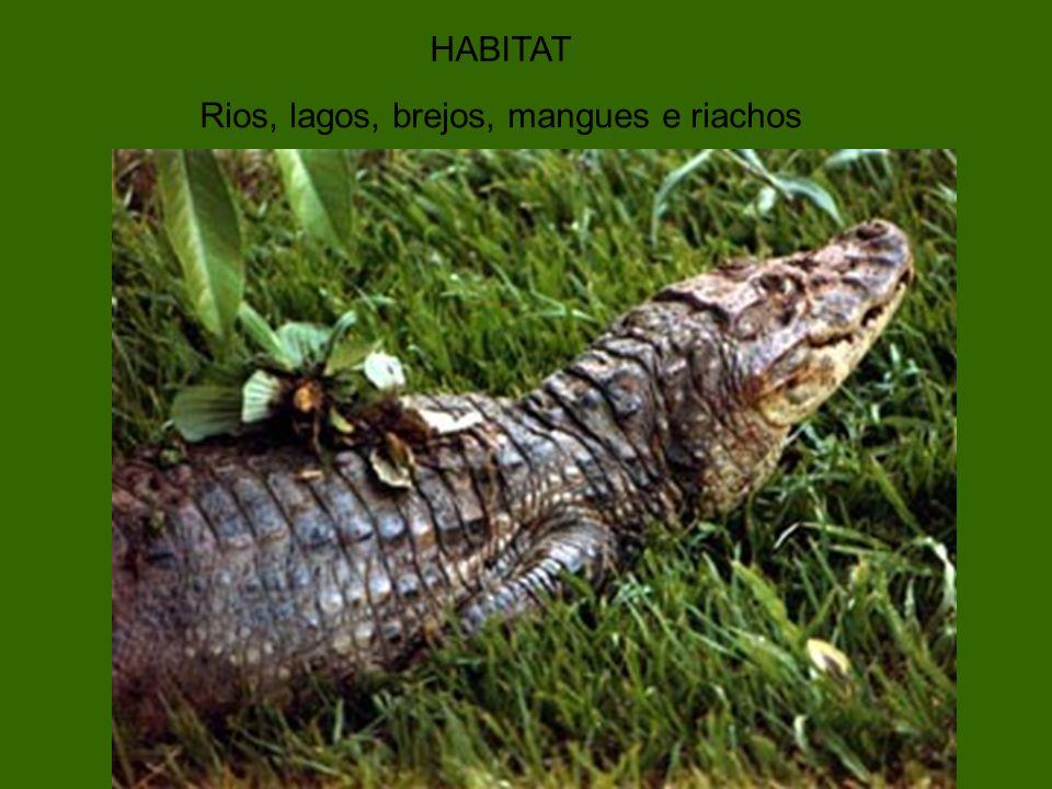 CURIOSIDADES 1) Na época do acasalamento os machos ficam com o papo bem amarelo para atrair as f êmeas 2) nome cientifico : Caiman Latirostris