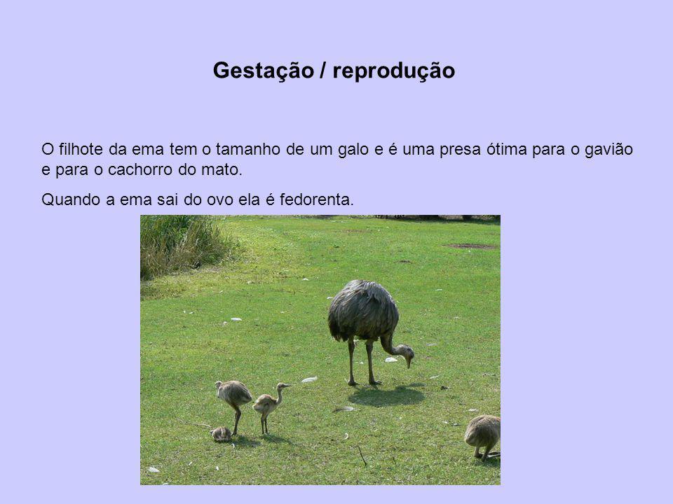 Gestação / reprodução O filhote da ema tem o tamanho de um galo e é uma presa ótima para o gavião e para o cachorro do mato. Quando a ema sai do ovo e