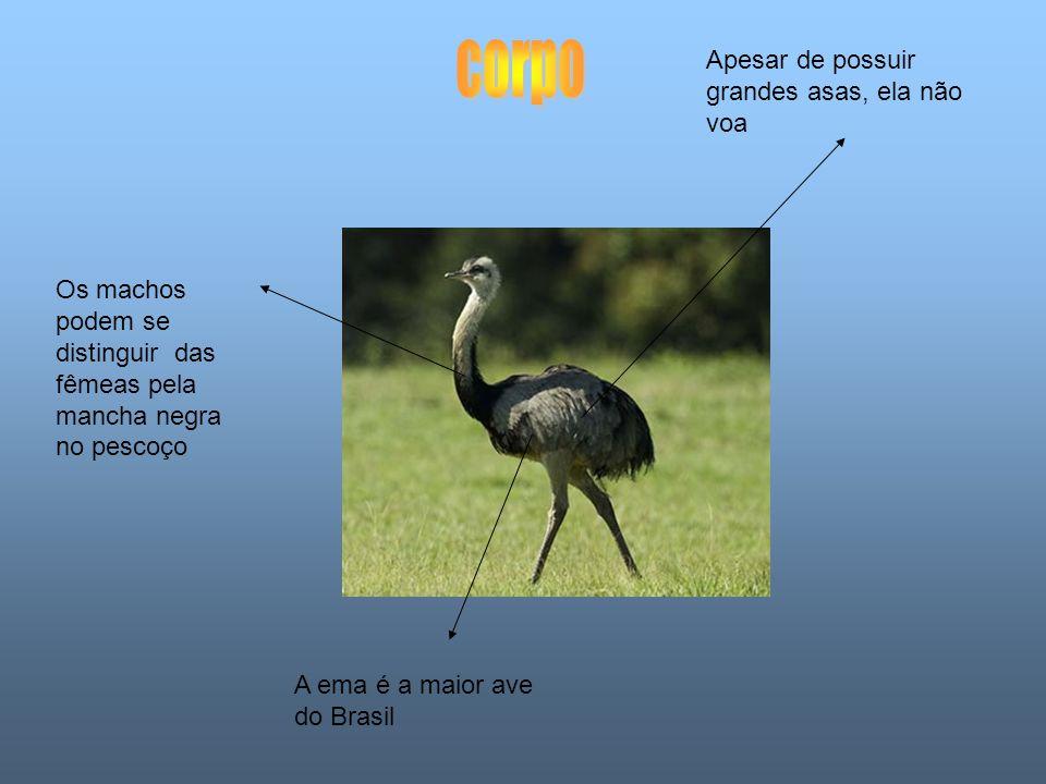 Apesar de possuir grandes asas, ela não voa A ema é a maior ave do Brasil Os machos podem se distinguir das fêmeas pela mancha negra no pescoço