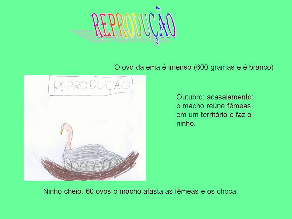 O ovo da ema é imenso (600 gramas e é branco) Outubro: acasalamento: o macho reúne fêmeas em um território e faz o ninho.