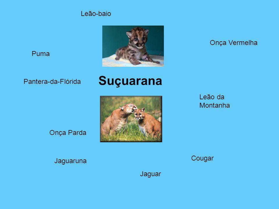 Suçuarana Puma Onça Parda Onça Vermelha Leão da Montanha Cougar Jaguaruna Jaguar Leão-baio Pantera-da-Flórida