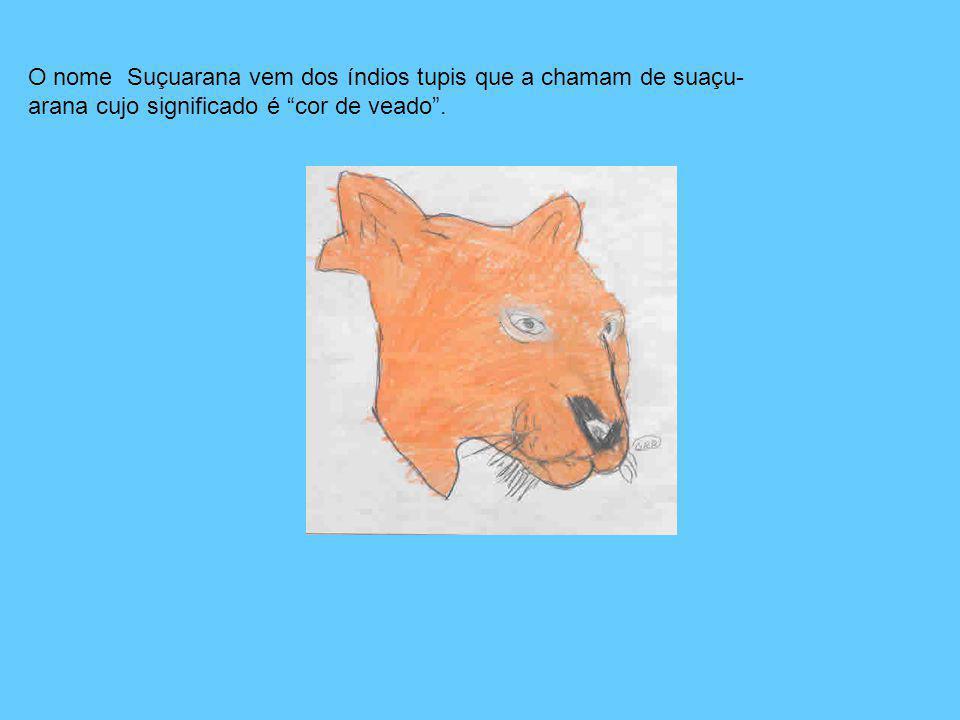 O nome Suçuarana vem dos índios tupis que a chamam de suaçu- arana cujo significado é cor de veado.