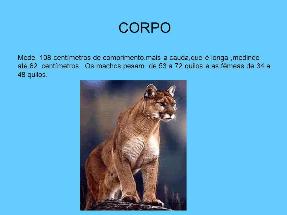 CORPO Mede 108 centímetros de comprimento,mais a cauda,que é longa,medindo até 62 centímetros. Os machos pesam de 53 a 72 quilos e as fêmeas de 34 a 4