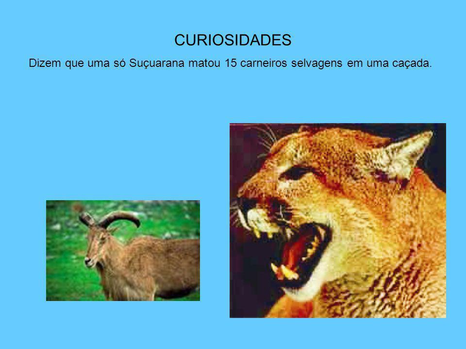 CURIOSIDADES Dizem que uma só Suçuarana matou 15 carneiros selvagens em uma caçada.