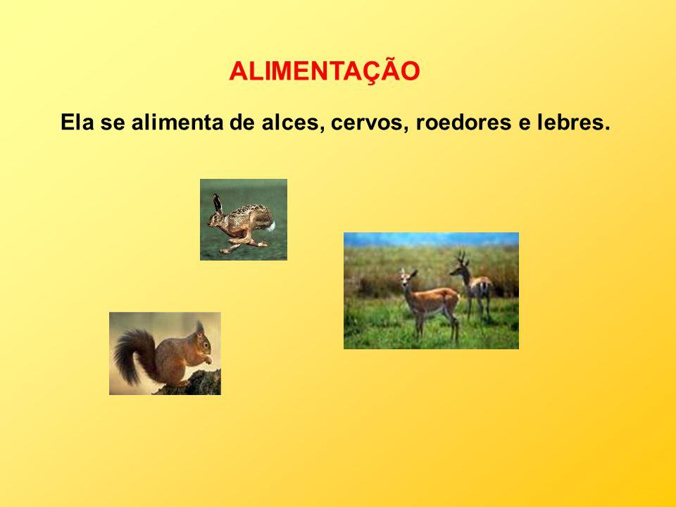 ALIMENTAÇÃO Ela se alimenta de alces, cervos, roedores e lebres.