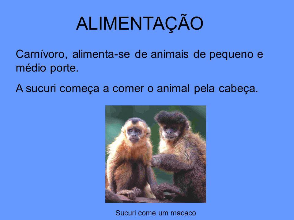 ALIMENTAÇÃO Carnívoro, alimenta-se de animais de pequeno e médio porte. A sucuri começa a comer o animal pela cabeça. Sucuri come um macaco