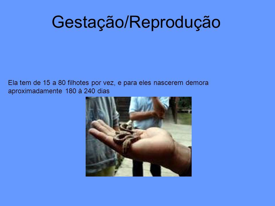 Gestação/Reprodução Ela tem de 15 a 80 filhotes por vez, e para eles nascerem demora aproximadamente 180 à 240 dias