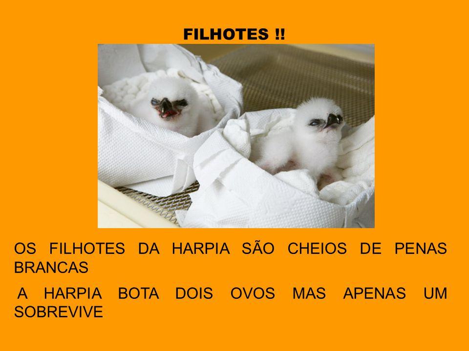 FILHOTES !! OS FILHOTES DA HARPIA SÃO CHEIOS DE PENAS BRANCAS A HARPIA BOTA DOIS OVOS MAS APENAS UM SOBREVIVE