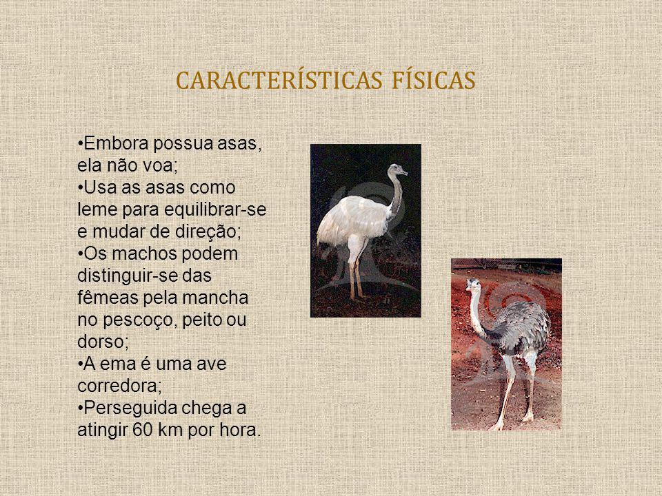 CARACTERÍSTICAS FÍSICAS Embora possua asas, ela não voa; Usa as asas como leme para equilibrar-se e mudar de direção; Os machos podem distinguir-se da