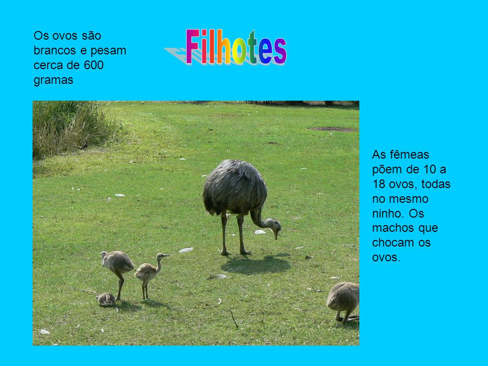 As fêmeas põem de 10 a 18 ovos, todas no mesmo ninho. Os machos que chocam os ovos. Os ovos são brancos e pesam cerca de 600 gramas
