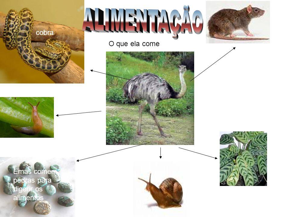 cobra Emas comem pedras para digerir os alimentos O que ela come