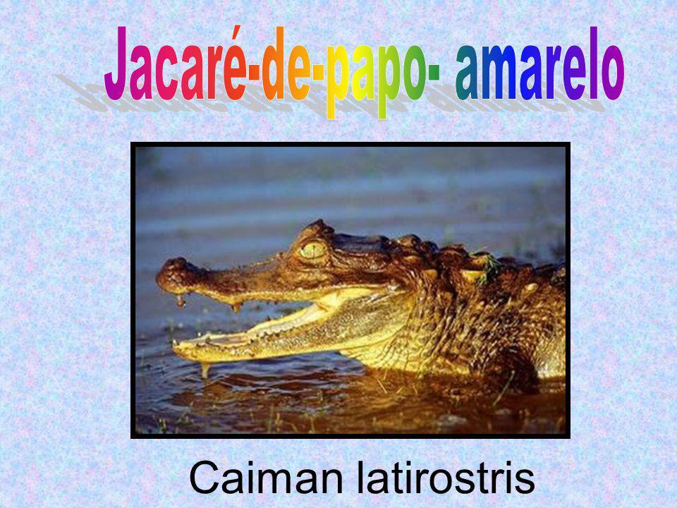 Caiman latirostris