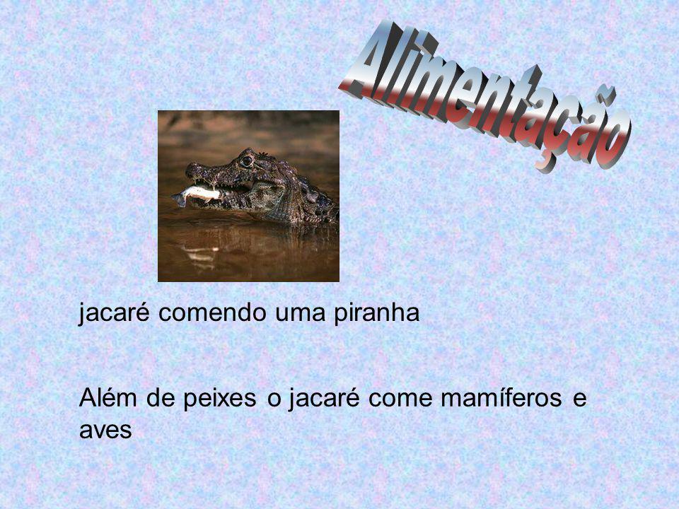 Além de peixes o jacaré come mamíferos e aves jacaré comendo uma piranha