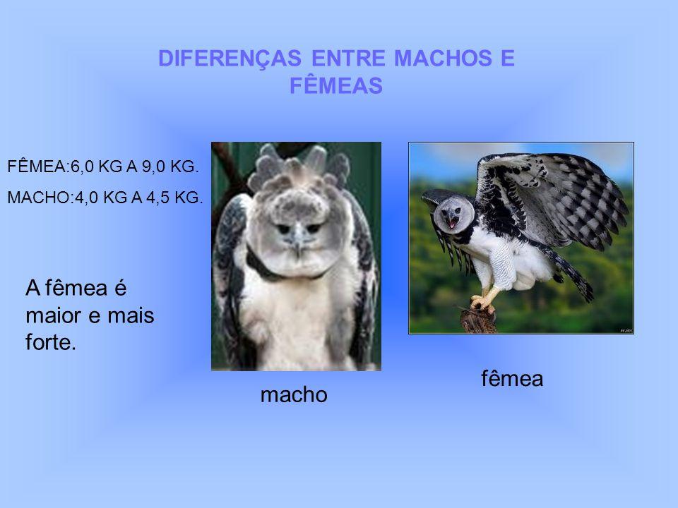 DIFERENÇAS ENTRE MACHOS E FÊMEAS FÊMEA:6,0 KG A 9,0 KG. MACHO:4,0 KG A 4,5 KG. A fêmea é maior e mais forte. fêmea macho
