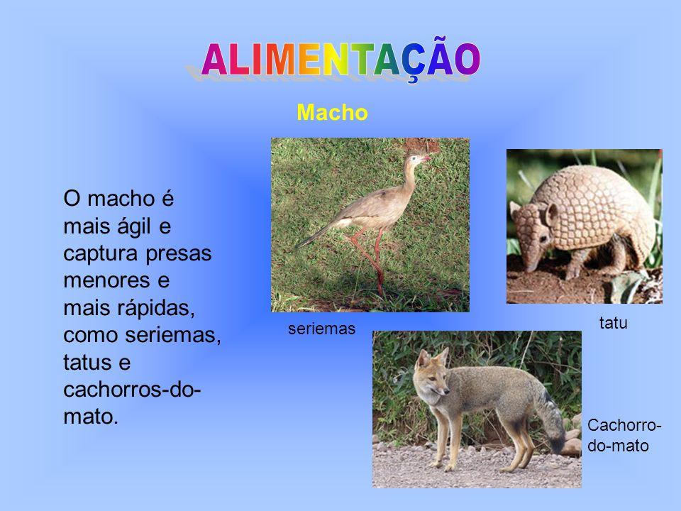 Fêmea A fêmea maior e mais forte, captura a caça pesada, como preguiças, macacos- prego e filhotes de veado.