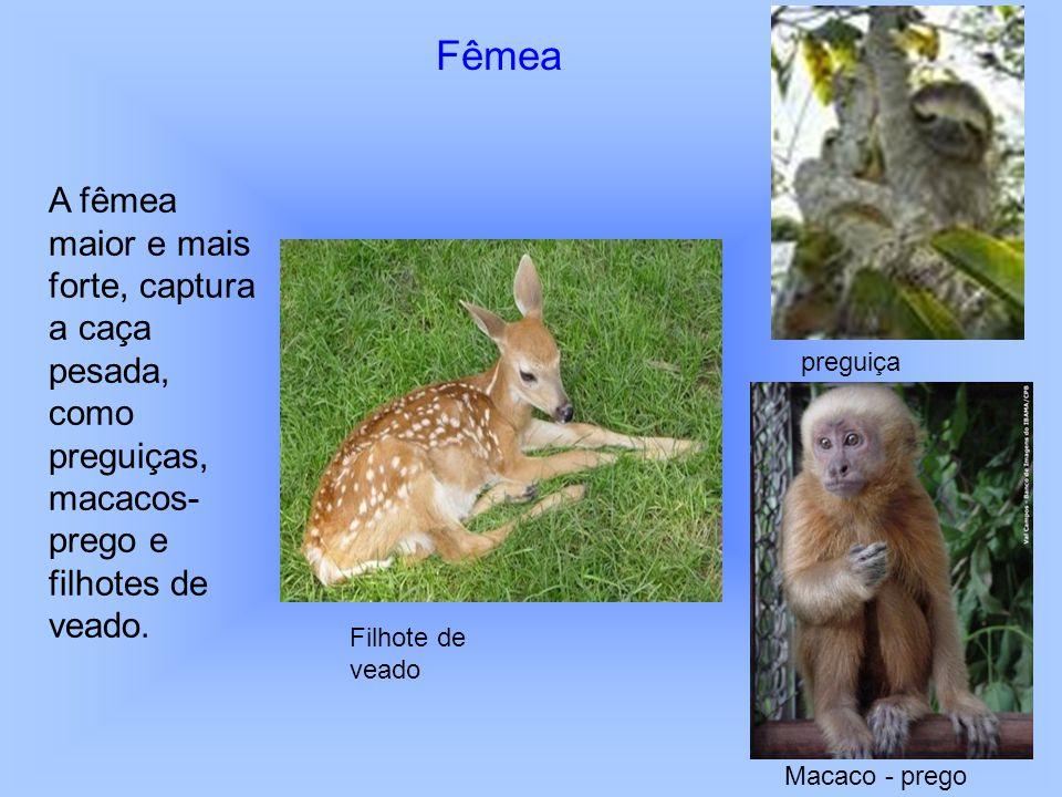 Fêmea A fêmea maior e mais forte, captura a caça pesada, como preguiças, macacos- prego e filhotes de veado. Filhote de veado preguiça Macaco - prego