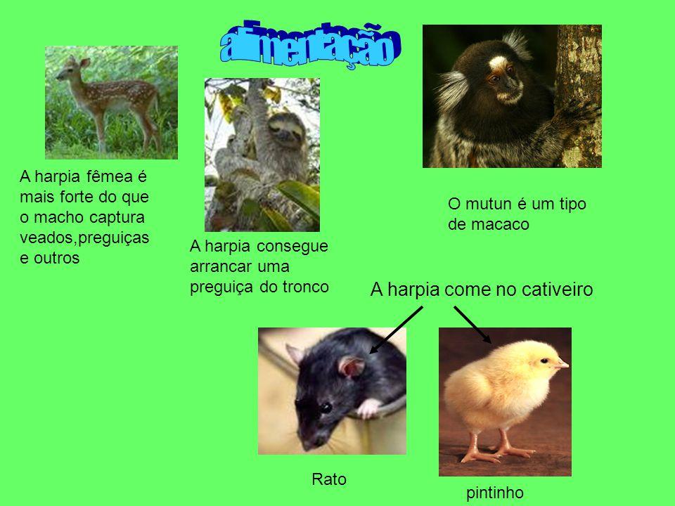 A harpia consegue arrancar uma preguiça do tronco A harpia fêmea é mais forte do que o macho captura veados,preguiças e outros O mutun é um tipo de ma