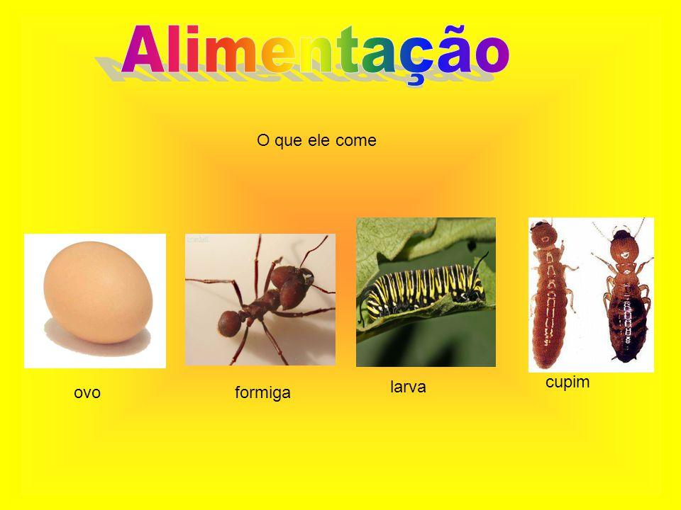 Saiba mais sobre a alimentação Consegue comer 35.000 formigas por dia Quase não bebe água porque sua alimentação Já da água para ele Boca totalmente banguela Língua grudenta e cumprida,que pode medir até 50 cm Igual a 6 caixinhas pequenas de kero coco