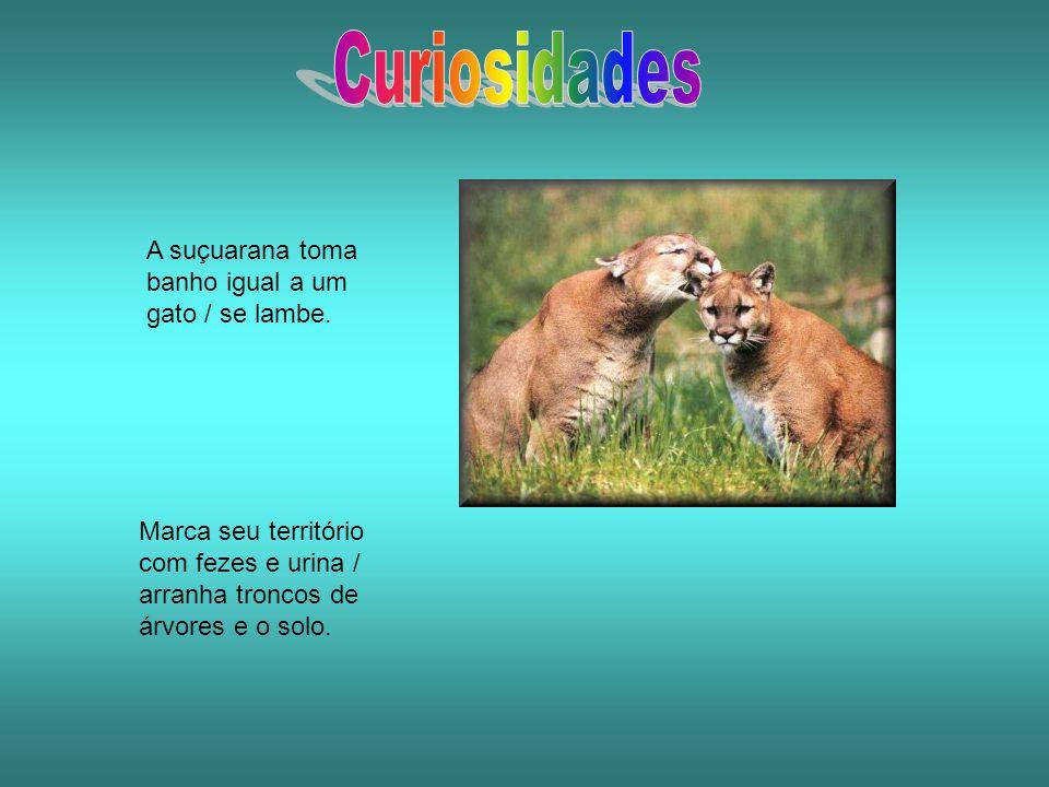 A suçuarana toma banho igual a um gato / se lambe. Marca seu território com fezes e urina / arranha troncos de árvores e o solo.