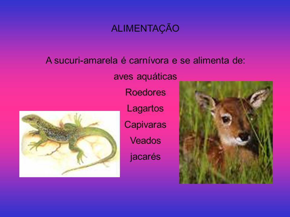 ALIMENTAÇÃO A sucuri-amarela é carnívora e se alimenta de: aves aquáticas Roedores Lagartos Capivaras Veados jacarés