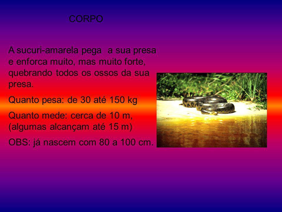 CORPO A sucuri-amarela pega a sua presa e enforca muito, mas muito forte, quebrando todos os ossos da sua presa. Quanto pesa: de 30 até 150 kg Quanto