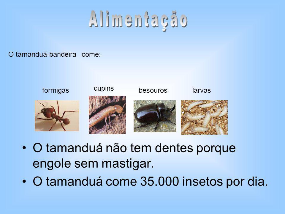 O tamanduá não tem dentes porque engole sem mastigar. O tamanduá come 35.000 insetos por dia. O tamanduá-bandeira come: formigas cupins besouroslarvas