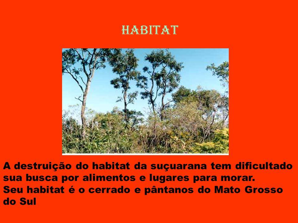 HABITAT A destruição do habitat da suçuarana tem dificultado sua busca por alimentos e lugares para morar. Seu habitat é o cerrado e pântanos do Mato