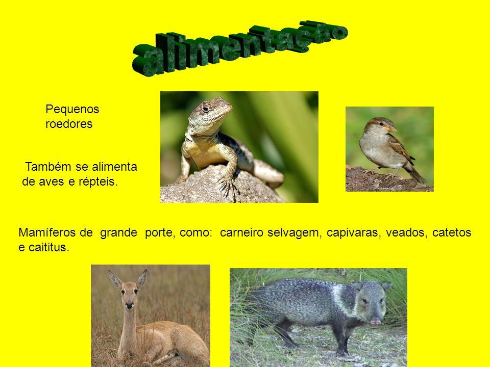 Pequenos roedores Mamíferos de grande porte, como: carneiro selvagem, capivaras, veados, catetos e caititus. Também se alimenta de aves e répteis.