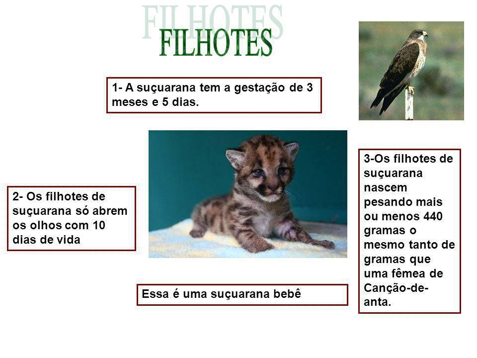 1- A suçuarana tem a gestação de 3 meses e 5 dias. 2- Os filhotes de suçuarana só abrem os olhos com 10 dias de vida 3-Os filhotes de suçuarana nascem