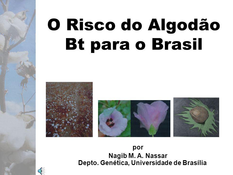 O Risco do Algodão Bt para o Brasil por Nagib M. A.