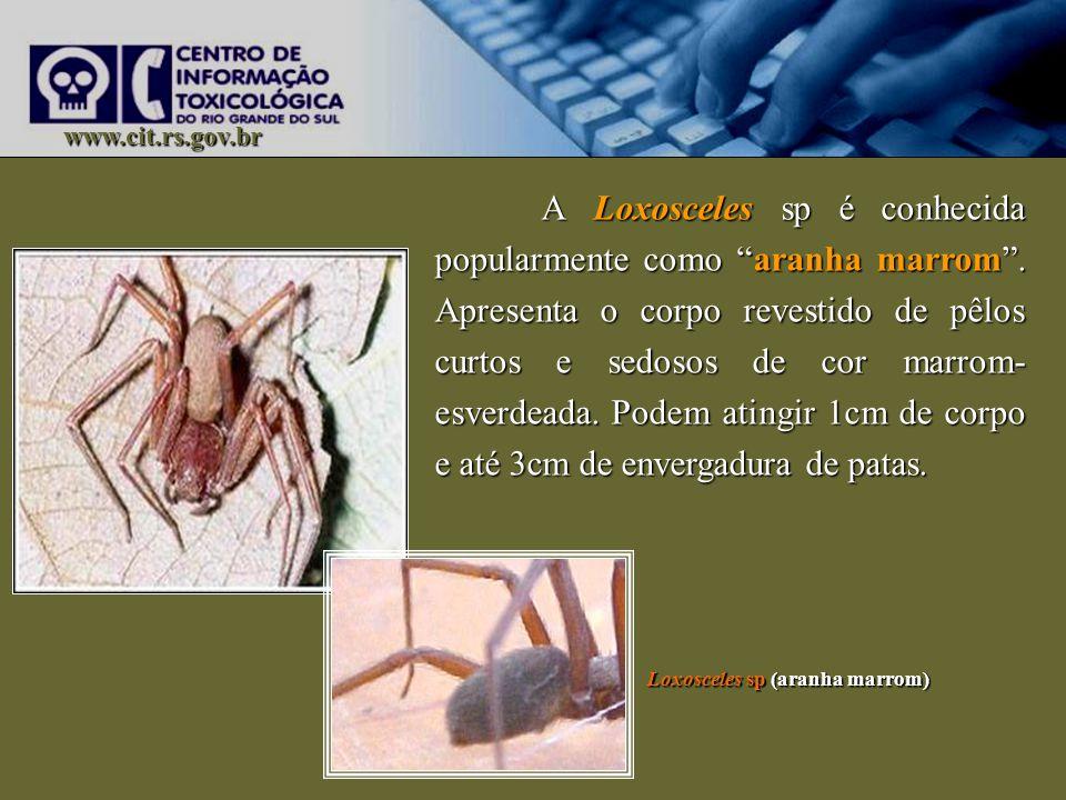 www.cit.rs.gov.br A Loxosceles sp é conhecida popularmente como aranha marrom. Apresenta o corpo revestido de pêlos curtos e sedosos de cor marrom- es