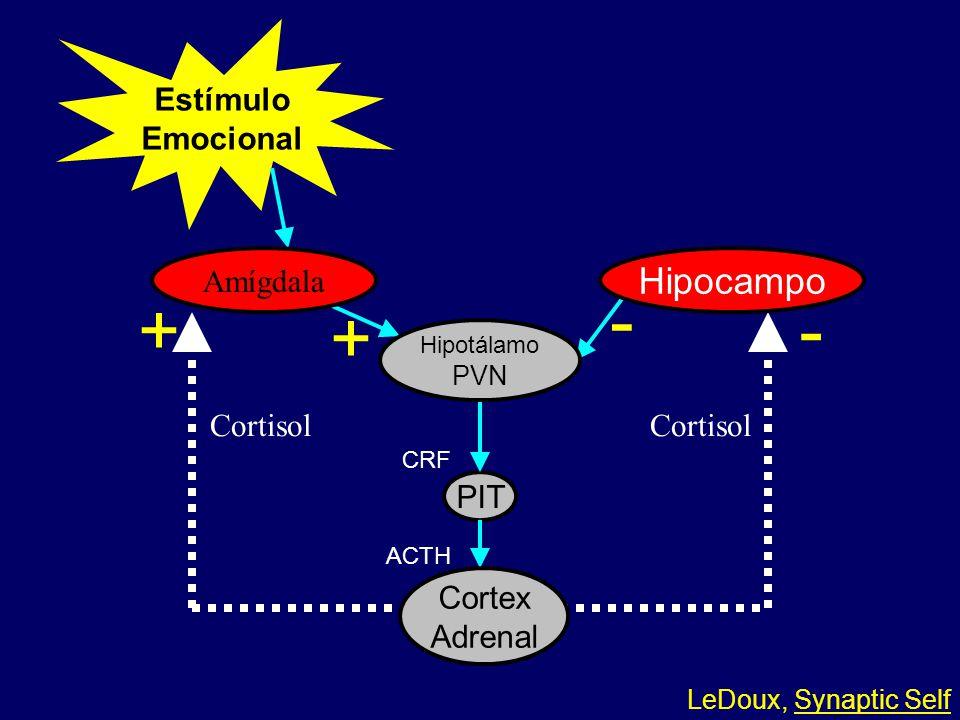 Estímulo Emocional PIT Cortisol CRF ACTH Amígdala Hipocampo Cortex Adrenal Hipotálamo PVN + + - - LeDoux, Synaptic Self 03-002
