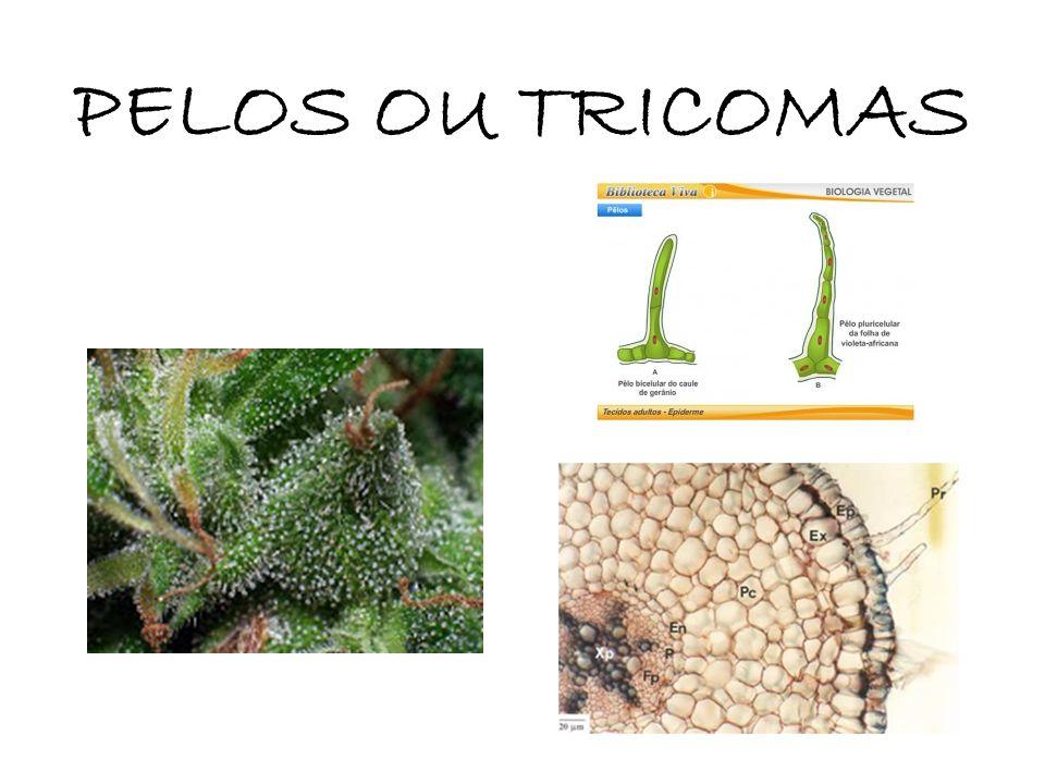 ESCAMAS (tricomas modificados) Ameniza a perda de água Pode ter função de absorção de água (velame de epífitas)