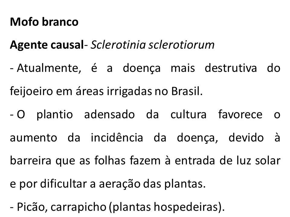 Mofo branco Agente causal- Sclerotinia sclerotiorum - Atualmente, é a doença mais destrutiva do feijoeiro em áreas irrigadas no Brasil. - O plantio ad