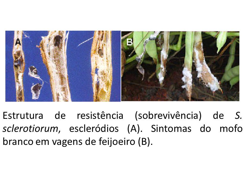 Estrutura de resistência (sobrevivência) de S. sclerotiorum, escleródios (A). Sintomas do mofo branco em vagens de feijoeiro (B).