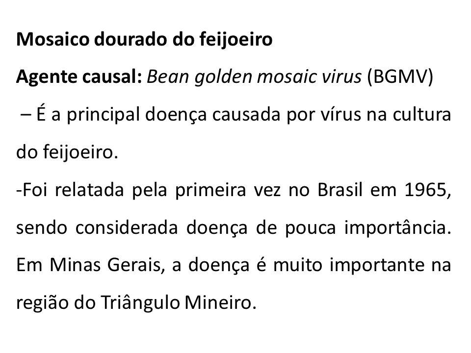 Mosaico dourado do feijoeiro Agente causal: Bean golden mosaic virus (BGMV) – É a principal doença causada por vírus na cultura do feijoeiro. -Foi rel