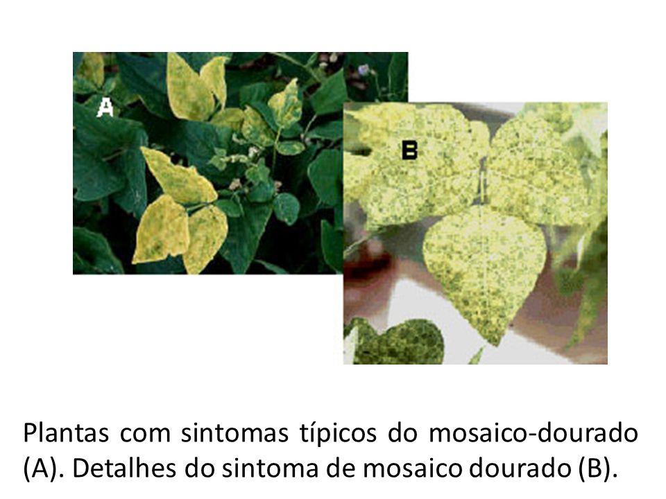 Plantas com sintomas típicos do mosaico-dourado (A). Detalhes do sintoma de mosaico dourado (B).