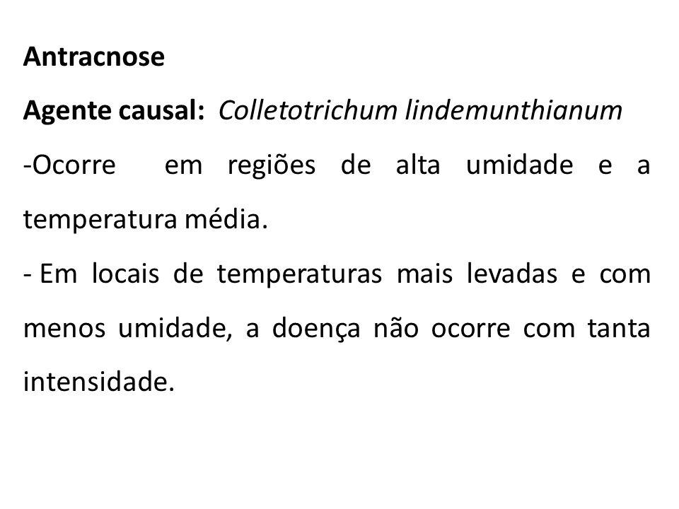 Antracnose Agente causal: Colletotrichum lindemunthianum -Ocorre em regiões de alta umidade e a temperatura média. - Em locais de temperaturas mais le