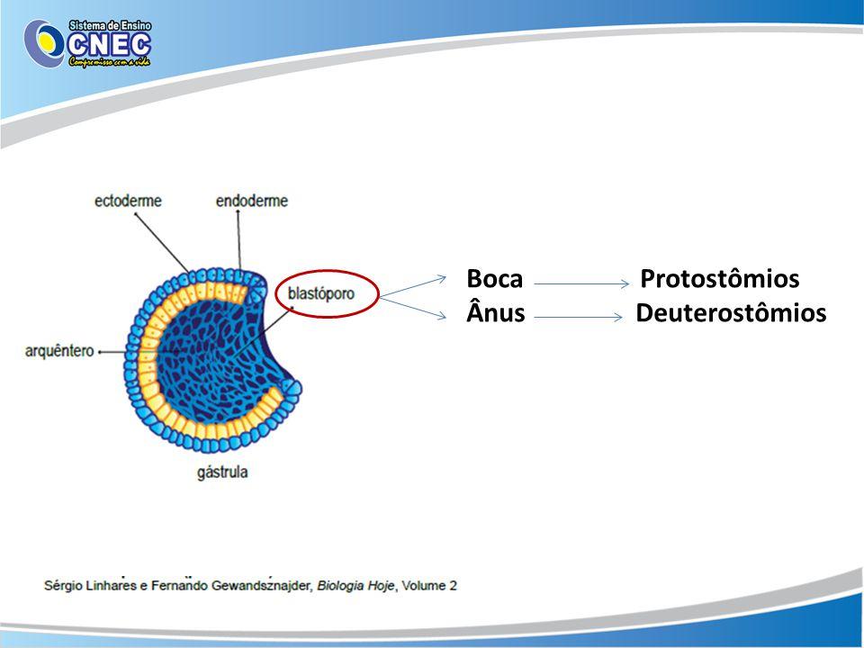 Boca Protostômios Ânus Deuterostômios