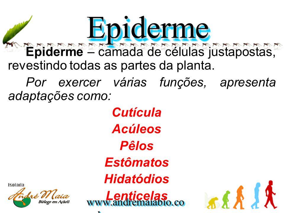 www.andremaiabio.co m.br Epiderme – camada de células justapostas, revestindo todas as partes da planta. Por exercer várias funções, apresenta adaptaç