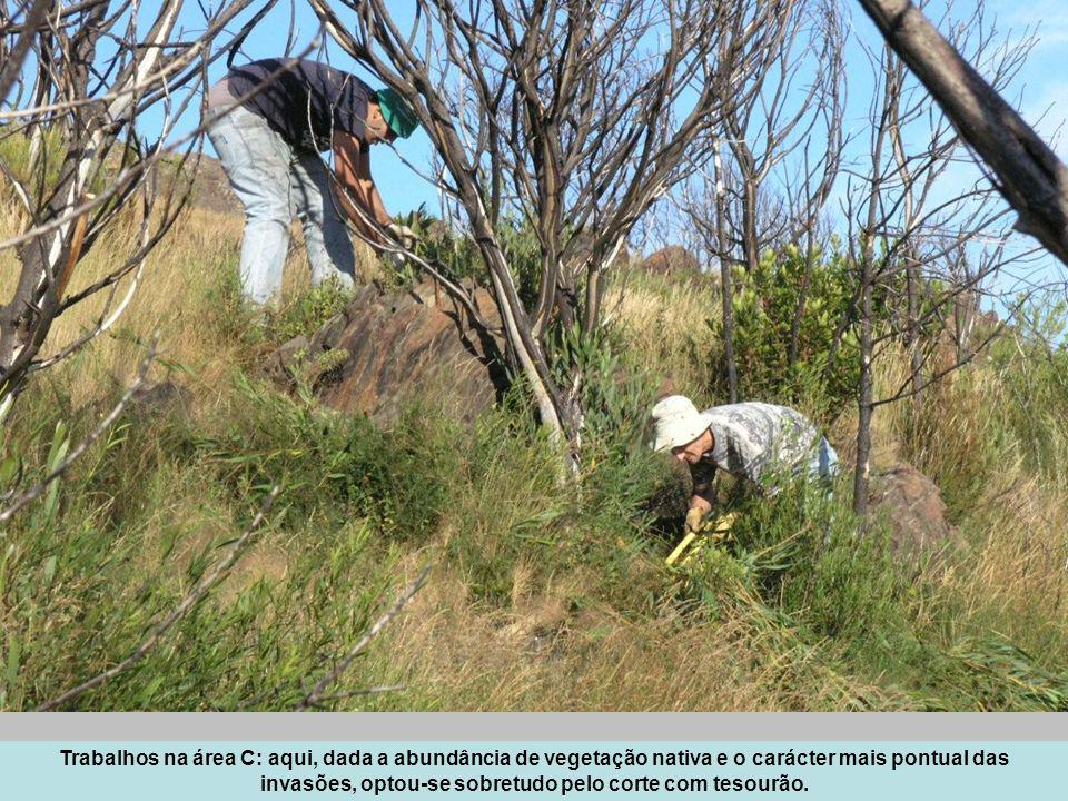 Trabalhos na área C: aqui, dada a abundância de vegetação nativa e o carácter mais pontual das invasões, optou-se sobretudo pelo corte com tesourão.